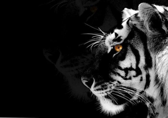 черный тигр с белыми полосами и яркими янтарными глазами на черном фоне с дымкой в год черного водяного тигра по восточному календарю